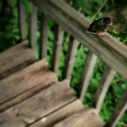 Baby robin on my deck this evening. Its mom (I assume) kept bringing it food, so I didn't want to get too close. Poor little thing couldn't quite fly yet. Kept fluttering from railing to railing. I checked again later & it was gone, so hopefully it ended up somewhere safe.