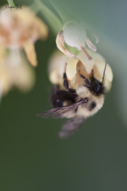 The sweet nectars of a Boone summer Bombus griseocollis I dare believe