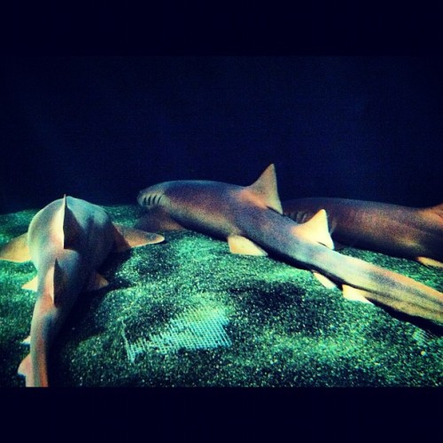 Nurse sharks taking a group nap. (Taken with Instagram at National Aquarium in Baltimore)