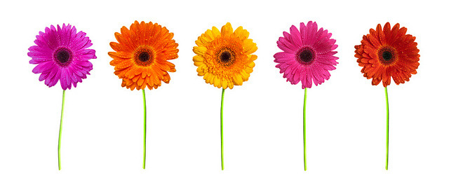 the gerbera collection by Adam Foster | Codefor on Flickr.