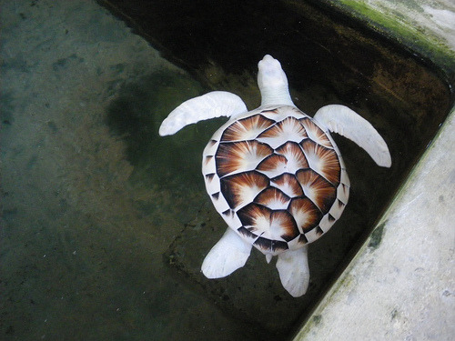 Albino turtles are just too beautiful. ;A;