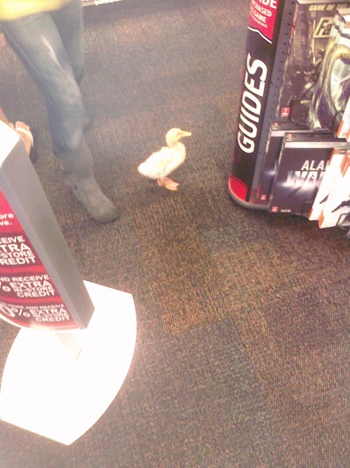 solkiasstupidpage:   rubberducklett:  diarrheaworldstarhiphop:  Duck in a Gamestop.  yes I'm a duck, and yes I play video games!!   Don't hit on me silly boys!
