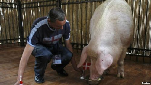 'Psychic Pig' Enjoying 66-Percent Accuracy in Euro Predictions