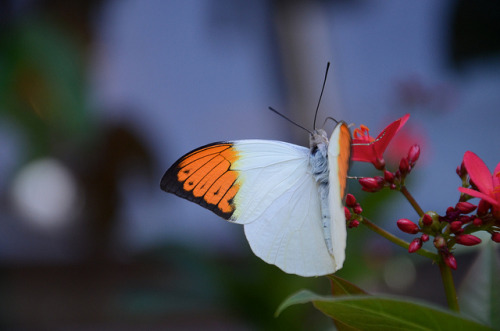 animals-animals-animals:  Great Orange Tip Butterfly (by Joe Shlabotnik)