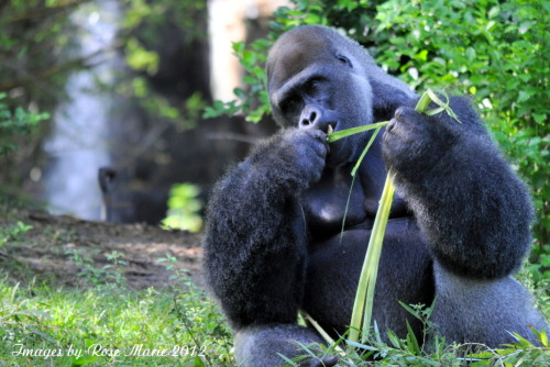 imagesbyrosemarie:  Gorilla Lunch  Rhymes with what he had for breakfast.