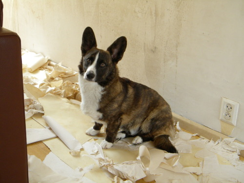 corgiaddict:  Helping mom tear up the wallpaper. It was FUN!