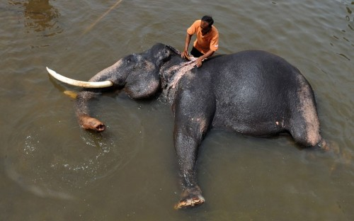 A handler washes an elephant in a river at the Pinnawela Elephant Orphanage in Sri Lanka. Picture: Ishara S.KODIKARA/AFP/GettyImages