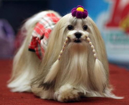 theanimalblog:  A Lhasa Apso named Tefany parades during the Sao Paulo Fashion Pet event.  Picture: REUTERS/Paulo Whitaker
