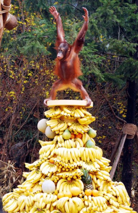 Happiest Orangutan in the World on a Tower of Fruit This orangutan just won the ape lottery