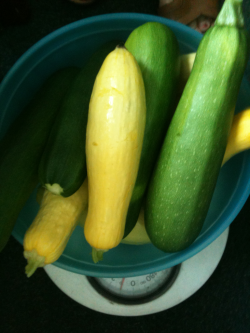 Fifth harvest from Porter Library SERVE garden yields 10 lbs of squash!