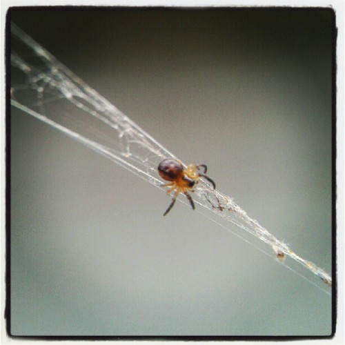 Baby orb weaver spider in remnants of mother's web in the daytime (Taken with Instagram at Harvest Wind)