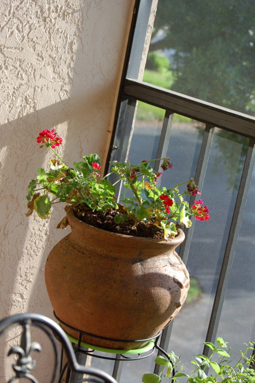 Did you know that Geraniums need 6-10 hours of sunlight per day? :-(