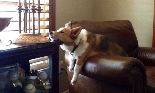 corgiaddict:  I may be tired, but I'm still on watch!