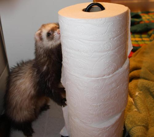 starbucks-whoree:  Nala attacking the toilet paper after her bath