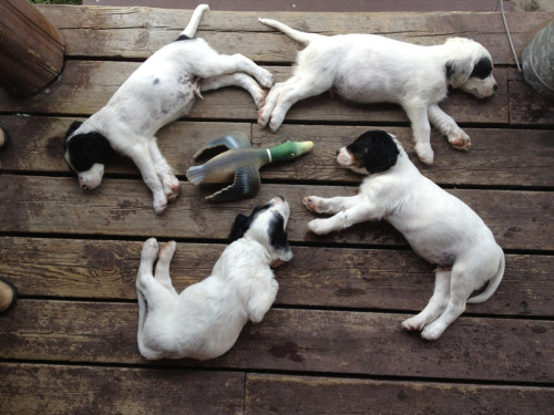 thefluffingtonpost:  Hunting Dog Squadron Naps in Formation The Barking Banshees, a hunting dog squad based out of Ossining, NY, is so dedicated to its craft that the group has learned to nap in perfect formation.  The English Setter puppies are currently training for a summer hunting show tour, on which they will be utilized as a recruiting tool for the National Dog Force, a government backed canine outfit that operates under the purview of the Department of Defense. Via Bunnystrength.