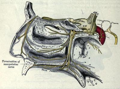 "Image: The sphenopalatine nerve and its branches. Gray's Anatomy, 1910 ed. Medical Term of the Season: Sphenopalatine ganglioneuralgia Sphen-: Wedge-shaped, or related to the sphenoid bone of the skull-palatine: relating to the palate of the mouth Ganglio-: A tissue mass, most often a bundle of nerve cell bodies.-neur-: Neural, of the head, or in the head.-algia: Pain So sphenopalatine ganglioneuralgia is neuralgia related to the sphenopalatine ganglia. Most commonly, this is what we know as brain freeze, or an ice-cream headache. The touching of a cold substance to the roof of the mouth (such as in swallowing) causes a rapid constriction of blood vessels in the sinuses. When the cold substance is removed and the area quickly re-warms, an extreme ""rebound"" dilation of the blood vessels occurs, triggering the pain sensors in the palate. Since the pain sensors in the palate relay their signals through the trigeminal nerve (similar to most headaches due to physical causes), the brain interprets the accidental trigger as a legitimate ""headache"", and gives you that sharp pain sensation until the signal is corrected by the readjusted palate! There is another theory regarding the source of cold-stimulus pain, which posits the origin is actually in the anterior cerebral artery, and not the sphenopalatine ganglia, but research supporting both theories also shows that the pain can be lessened by eating cold treats slowly, and not using a straw in cold beverages. It can also be mitigated once it starts by drinking a warm beverage, or pressing the tongue against the roof of the mouth to more quickly re-warm the area. Scientific American Mind, Vol 19, Issue 1, 2008. ""Brain Freeze"" by Mark Andrews.British Medical Journal, 10 May 1997. ""Ice Cream Headache."""