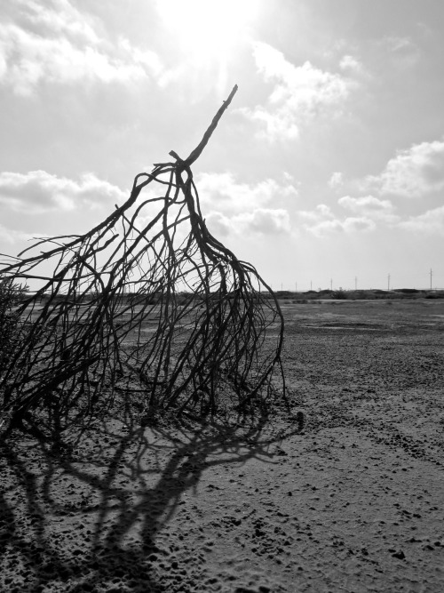 aspaghettiwestern:  tumbleweed in the sand flat, south padre island