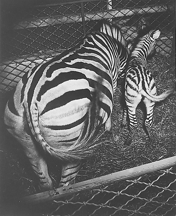 cavetocanvas:  Weegee, Zebra and Colt, c. 1940-45