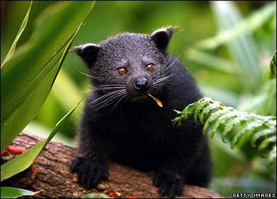 jenclone:  Behold the ever-popular baby binturong.