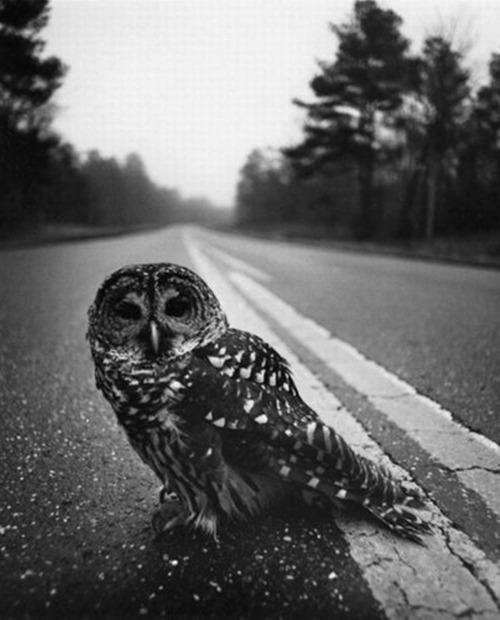 cruello:  Owl On Road, 1975 by Arthur Tress