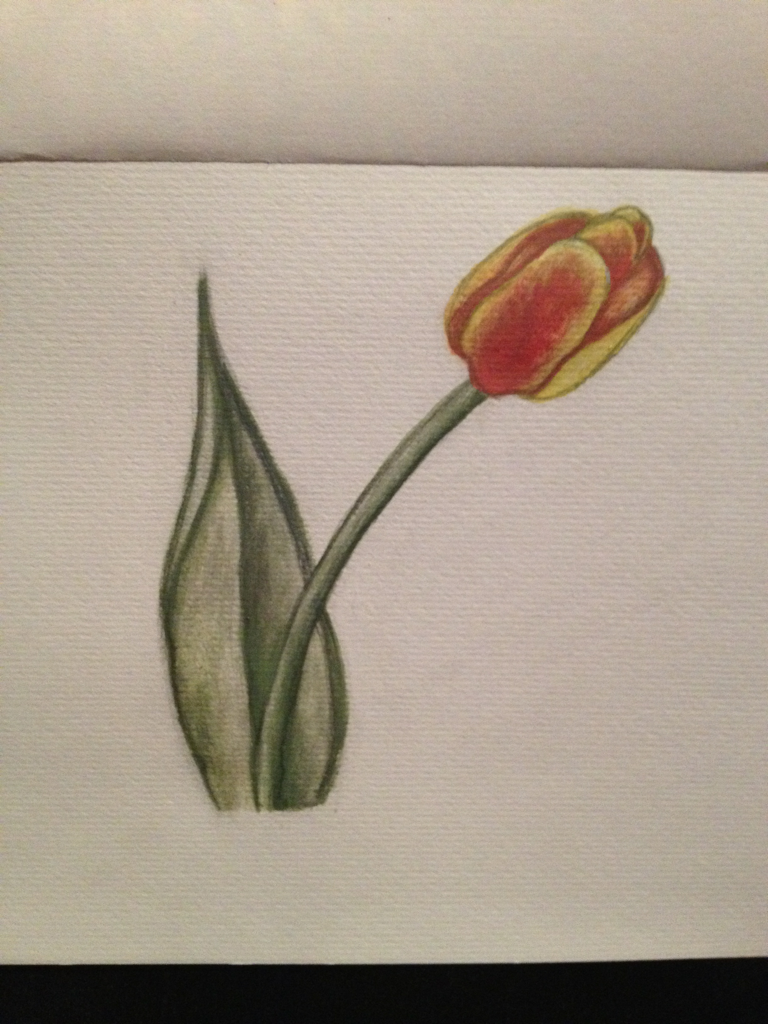 Pencil & water color tulip!