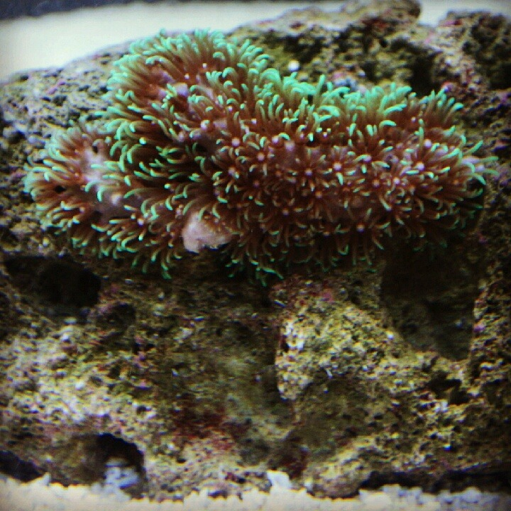 stayyoungstayfresh:  Small frag of green star polyps