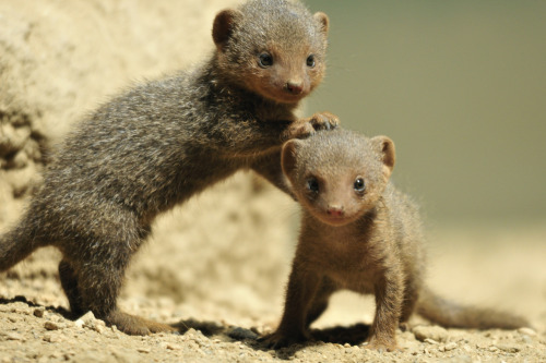 Dwarf Mongoose pups at the zoo yesterday.