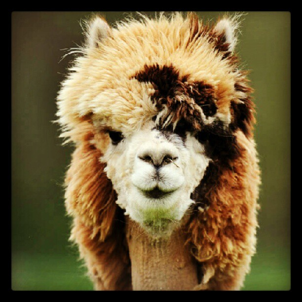 El peinado de esta #alpaca  está increible, hahaha #animal #fashion #cool  (Taken with Instagram at La Gran Esquina)