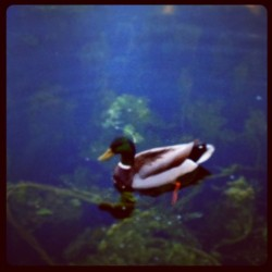 Minnesota Duck #park #nature #minnesota #duck #animal #bird #floating #swimming #water #lake  (Taken with Instagram)