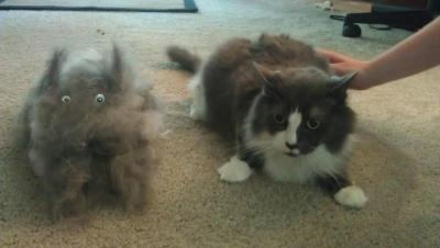starksicles:  we brushed a cat out of my cat.