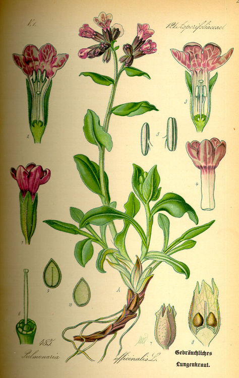 Botanical illustration of Pulmonaria officinalis, circa 1885.