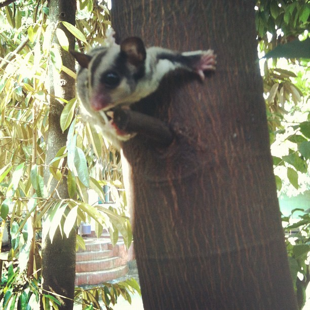 Awas icha! #SugarGlider  #indonesia  (Taken with Instagram)