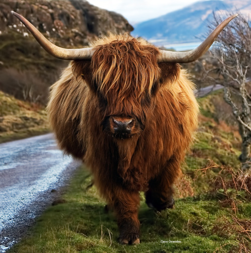 earthandanimals:  Highland Cow.