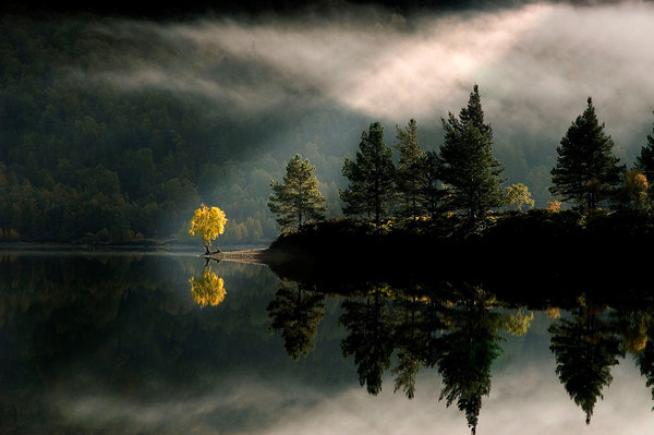 sheeptight:  Egrets, Herons Golden Tree, Glen affric
