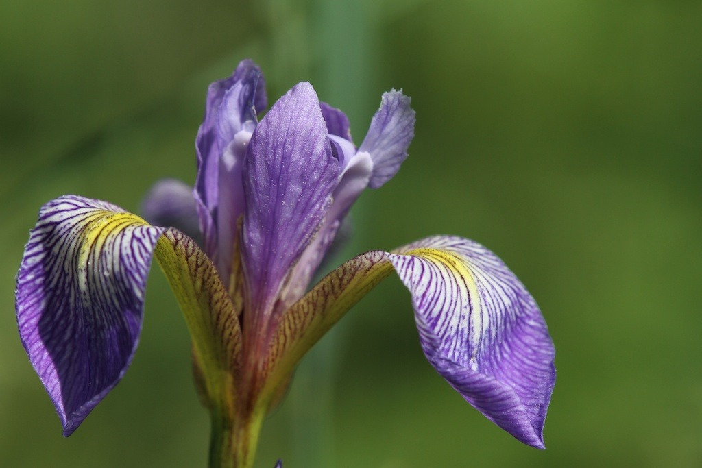 the messenger of love wild blue flag iris Since Iris is the Greek goddess for the Messenger of Love, her sacred flower is considered the symbol of communication and messages. Greek men would often plant an iris on the graves of their beloved women as a tribute to the goddess Iris, whose duty it was to take the souls of women to the Elysian fields.       -Hana No Monogatari: The Stories of Flowers