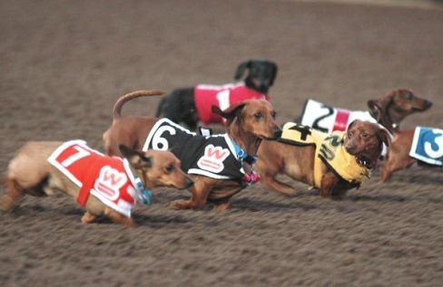 explodingdog:  millionsmillions:  It's Tuesday. Blah. Here are some racing dachshunds to brighten your morning.  thanks.