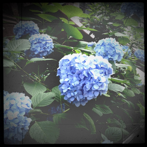 Hydrangea appreciation.