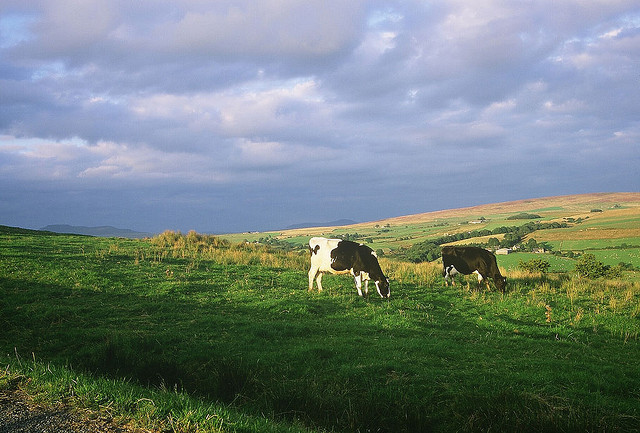 Cows demonstrating the rule of thirds by longwayround on Flickr.