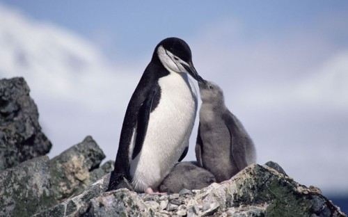 Chinstrap penguin (Pygoscelis antarctica) feeding chick, Antarctica.  Picture: Mark Carwardine/Nature Picture Library/Rex Features