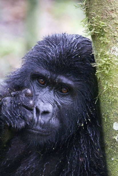 theanimalblog:  Mountain gorilla (Gorilla beringei beringei) leaning against tree trunk, Bwindi Impenetrable Forest, Uganda.  Picture: Mark Carwardine/Nature Picture Library/Rex Features