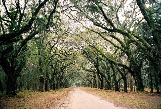 Wormsloe Trees by Dizzy Girl on Flickr.