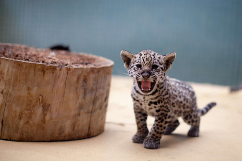 Berlin, Germany: a jaguar cub hisses at Berlin zoo.  Photograph: Kay Nietfeld/AFP/Getty Images
