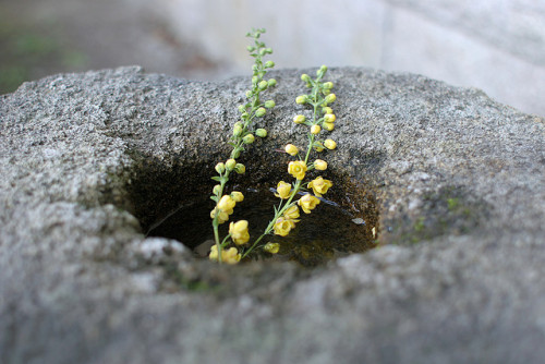valscrapbook:  yellow flowers on a stone-built vase by Apricot Cafe on Flickr.