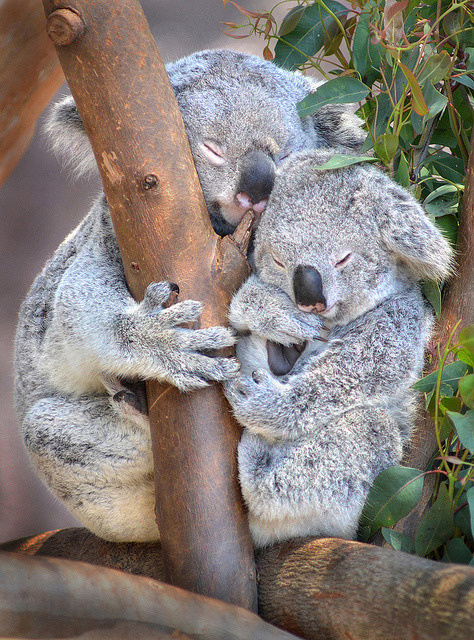 sdzoo:  Sleeping beauties by Stinkersmell on Flickr. Time to make like these guys and hit the hay. Goodnight all!