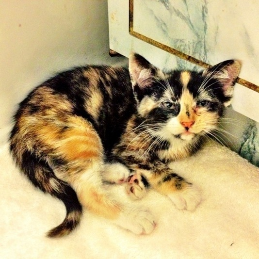 buzzfeed:  Meet Mercedes, a kitten that was trapped inside a car engine:  Suddenly, I see a paw protruding from the right front part of the car, near the turn signal housing. It's limp. Elizabeth and I fear the kitten is dead because the engine was so hot. I push at the paw and shove it back inside the housing. The kitten could not come out that way anyway. I could feel it and I poked it a bit and it started crying again.  I guess we know who to call when Car Talk finally ends its run.  Miracle cat.