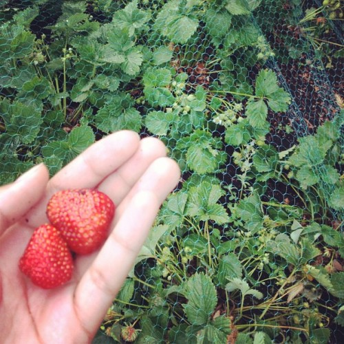 Our strawberries :) summer's here! (Taken with Instagram)