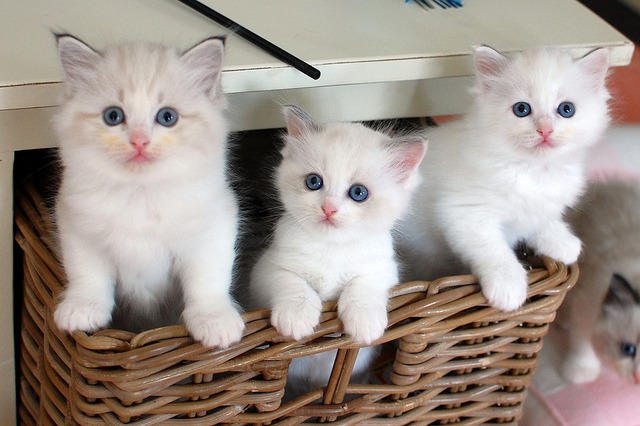 So where´s the entertainment?!? by Pacificat Ragdolls on Flickr.