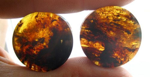 "onetribeorganics:  A quick sunlight snapshot of a lovely pair of 26mm (1"") included Chiapas amber plugs shipping to their new owner soon. These are available directly on the site as a made to order product with your specification of wearable length for a perfect fit. Included amber plugs at Onetribe Organics"