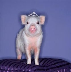 in-c0rr3ct:  This is me in teacup pig form ok  SO CUTE MY PIGLET PRINCESS