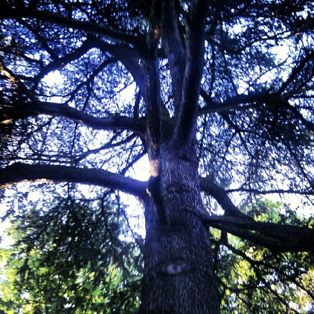 Big beautiful trees  (Taken with Instagram)